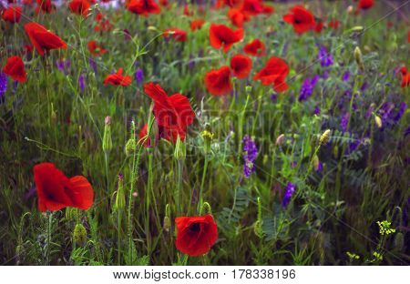 wild flower poppy on the field with grasses