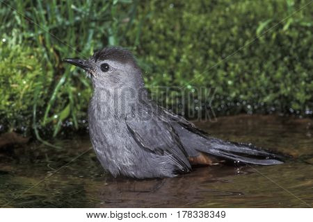 A Gray Catbird, Dumetella carolinensis getting a bath in a small pond in the forest