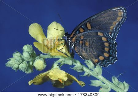 A Red-spotted Purple Butterfly, Limenitis arthemis on a yellow wildflower