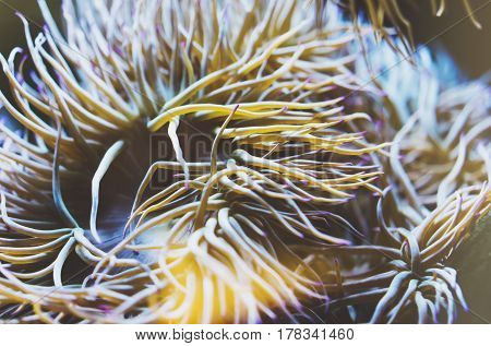 Close up view lively bright color actinia on background blue sea aquarium coral. Glass in oceanarium museum on backdrop fish blur mockup