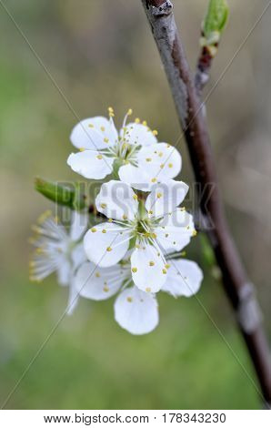Cherry blossom in full bloom. Cherry flowers in small clusters on a cherry tree branch. Shallow depth of field.