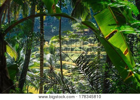 Tegalalang Rice Terrace fields nature with mountain view of Ubud village in Bali island Asia. Indonesia landscapes of Balinese traditional fields with lush tropical nature palm trees and warm sun