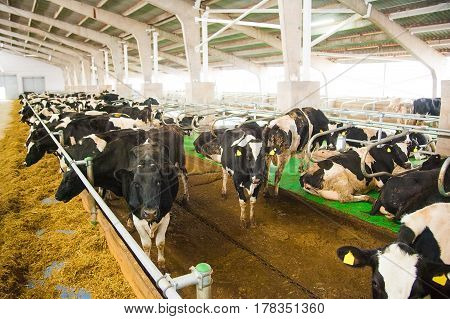 Cows In A Farm. Dairy Cows