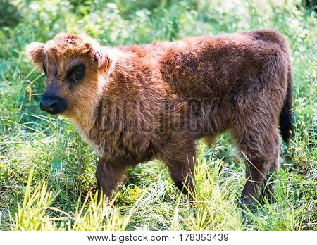 Scottish highland cattle in the mountains - A calf of red-brown Scottish Highland cattle.