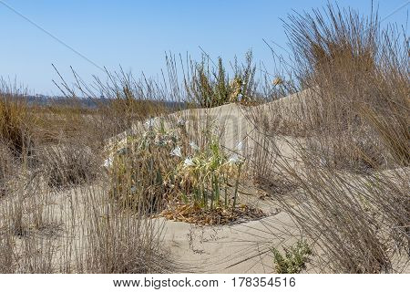 Wild sand dune with long grass and wild flower on a natural beach in Limassol Cyprus.