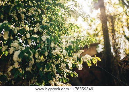 Beautiful Bird-cherry Flowers In Sunlight Morning In Sunny Park. Hackberry Blooming In Botanical Gar