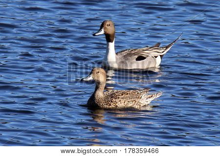 A pair of northern pintail ducks Anas acuta swimming on a lake.