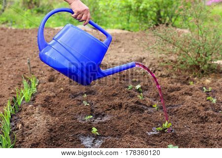Watering strawberry plants seedlings from watering can with mineral fertilizer