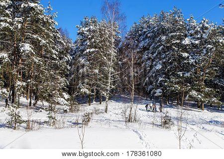 Snow winter coniferous forest. january in Belarus