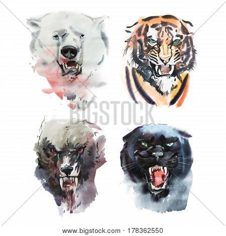 Watercolor drawing of angry looking bear, tiger, wolf and panther. Animal portrait on white background.