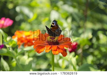 Butterfly beautiful insect with bright wings on a flower gathers nectar in a summer day in the garden