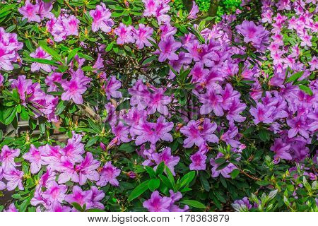 Bright pink tropical flower azalea bushes with  deep green background