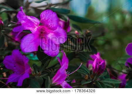 Bright pink tropical flower azalea with deep  green  backgroundg