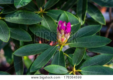 Bright pink tropical flower azalea blossom with  deep green background