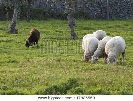 One Black And Four White Sheep Separated