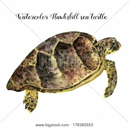Watercolor Hawksbill sea turtle. Hand painted underwater animal illustration isolated on white background. For design, fabric or print