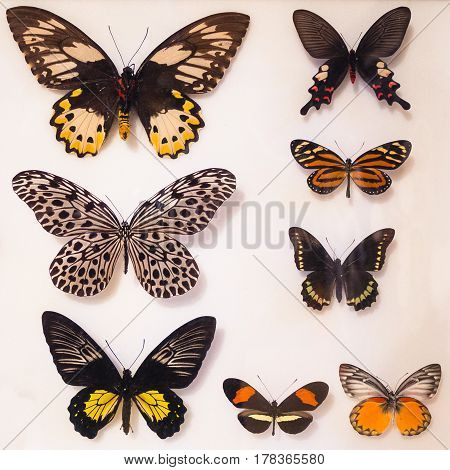 Colorful butterfly collection under glass on white background.