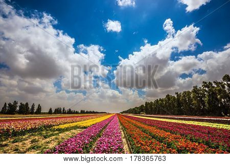 Colorful field, planted with flowers. The concept of eco-tourism. Garden buttercups bloom in bright colors. Walk on a sunny day