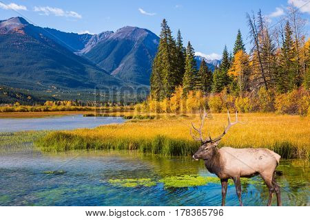 The big red deer with branchy horns is grazed on bank of the lake. Indian summer in the Rocky Mountains of Canada.  The concept of eco-tourism