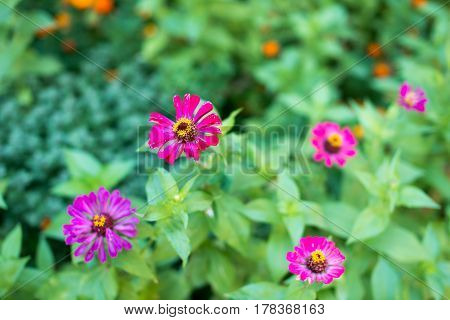 Flower major. Zinnia elegans. Flower pale pink. Close-up. On blurred background. Garden. Field. Floriculture. Large flowerbed Horizontal photo