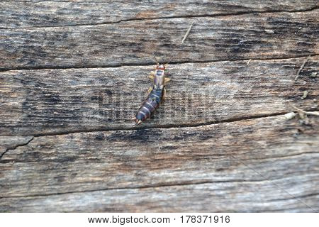 an earwig (commonly called pincher or pincher bug) is a harmless insect