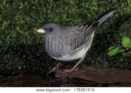 A Dark-eyed Junco, Junco hyemalis at the edge of a small pond in the forest