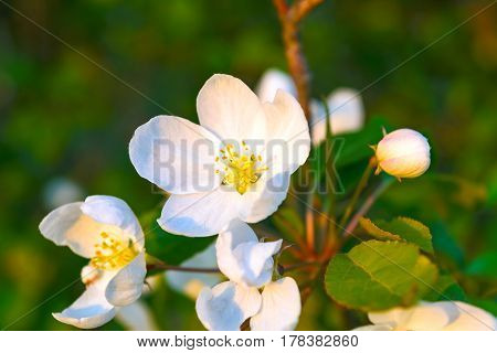 White apple blossoms with yellow stamens. Beautiful spring flowers
