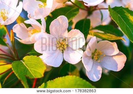 White apple tree flowers with yellow stamens. Beautiful spring flowers