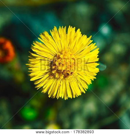 Blooming Coltsfoot flowers. First blooming wild spring yellow flowers