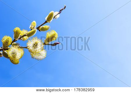 Branch of willow with fluffy bright yellow buds. Copy space. Early spring blooming trees