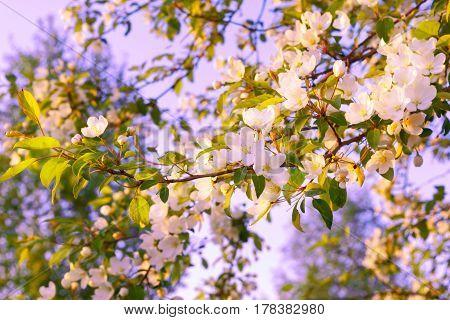 White tinged cream apple blossom. Beautiful spring flowers