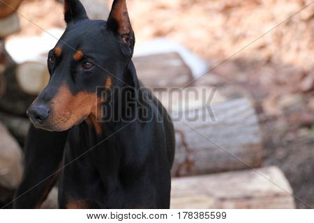 A portrait of The Black Doberman Pinscher dog In front of firewood