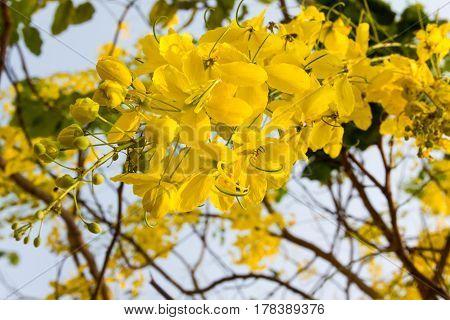 flower isolated cherry or prunus cerasoides sakura flower