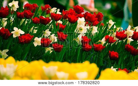 Tulips and Daffidols bloom during the Tulip Festival in Skagit County Washington