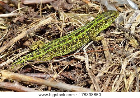 Close-up of the a green lizard (lat. Lacerta viridis, Lacerta agilis) in the grass. Excellent disguise. In the spring in the forest. Wild nature.