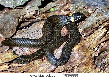 Grass-snake. Non-venomous snake (lat. Natrix natrix). The snake in the forest glade is basking in the sun. Closeup. Wild nature. The Urals. Russia