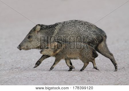 Javalina (Tayassu tajacu) with baby also known as the Collared Peccary