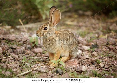 Desert Cottontail Rabbit (Sylvilagus audubonii) also known as Audubon's Cottontail in New Mexico