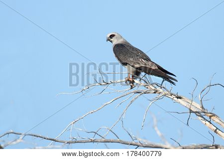 Mississippi Kite (Ictinia mississippiensis) in a tree with a blue sky