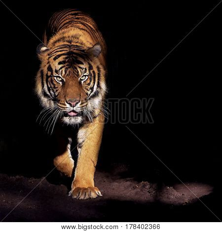 Tiger on the prowl from the darkness