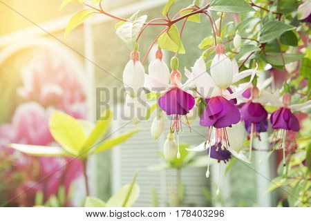 The fuchsia flower in the garden with the lighting effect