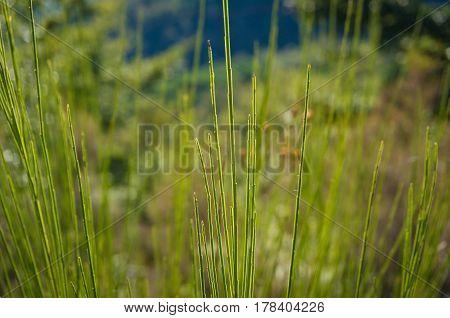 Close Up Og Long Green Grass