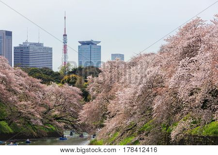 Tokyo Japan - April 8 2016: Chidorigafuchi park in spring season with cherry blossom. this area is popular viewpoint of sakura at Tokyo.
