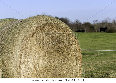 Round hay bale with cattle on pasture in the background