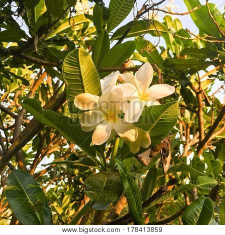 Frangipani or Plumeria flower captured on bright sunny evening in spring season