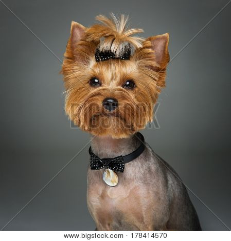 Beautiful pure bred yorkshire terrier female dog in leather fashion collar with pendant. Portrait on grey background. Copy space. Square.