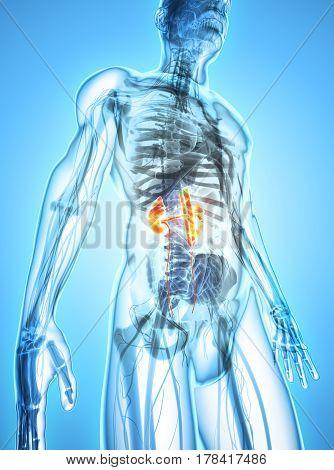 3D Illustration Of Urinary System, Medical Concept.