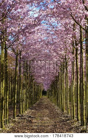 Plantation full with trees with pink Blossoms