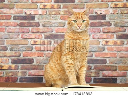 Orange ginger tabby cat sitting in front of an over sized text book looking directly at viewer. Brick wall background with copy space.