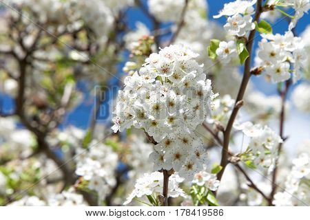 White Cherry Blossom tree flower clusters. Many of the varieties that have been cultivated for ornamental use do not produce fruit.
